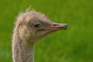 Extremos de Aves (Avestruz)