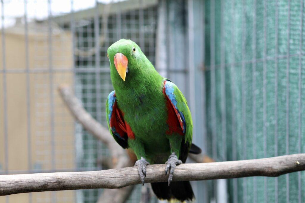 Papagaio eclectus